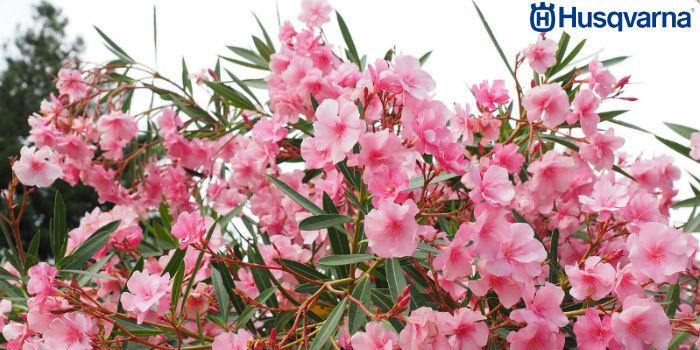 adelfa-arbusto