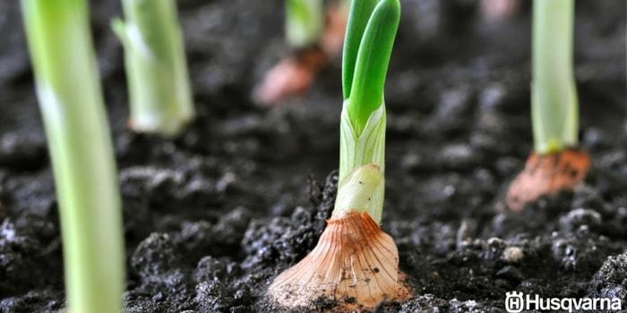 allium-cepa-cultivo
