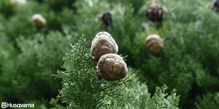 cupressus-sempervirens-piñas