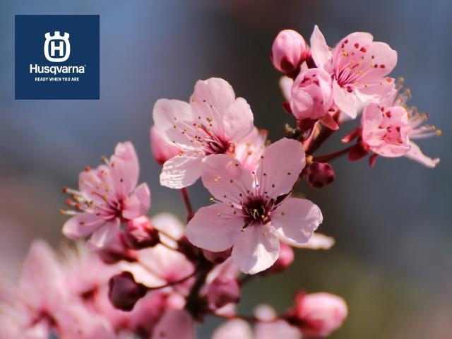 flor-prunus-cerasifera