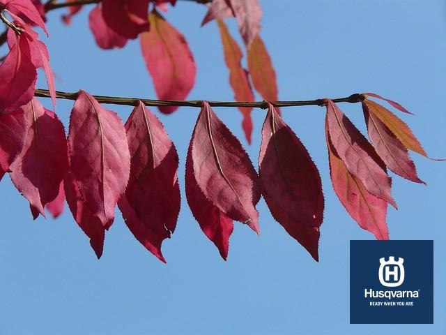 hojas-prunus-cerasifera