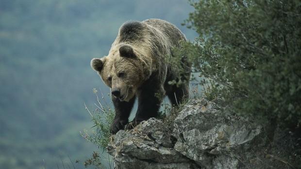 oso-pardo-somiedo