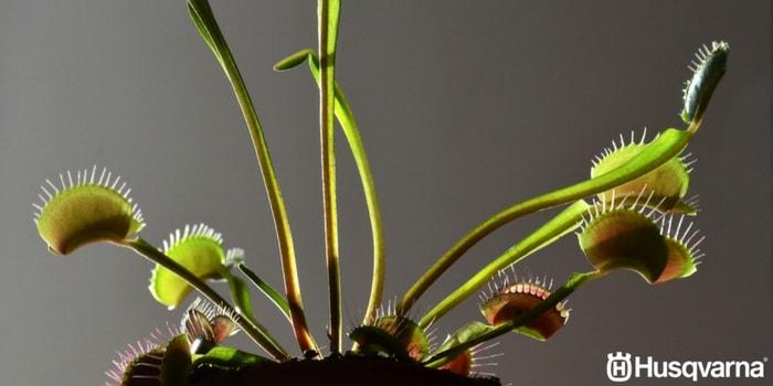 planta-carnívora