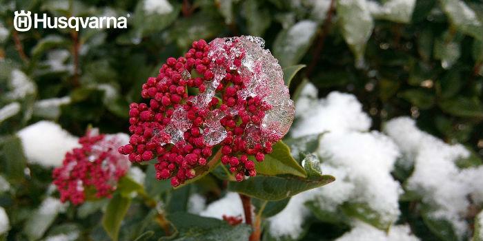 viburnum-tinus-invierno