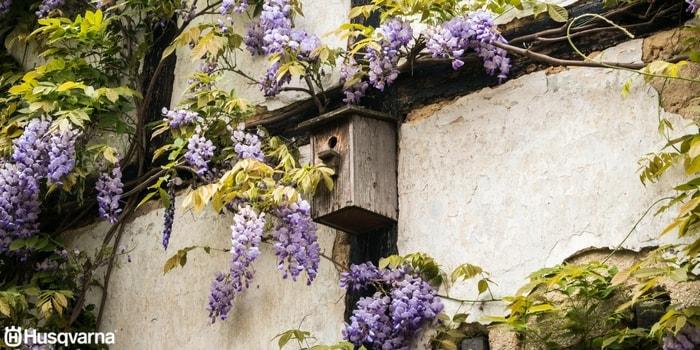 wisteria-sinensis